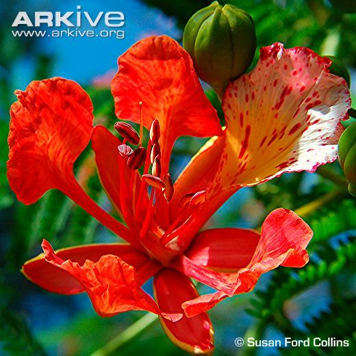 Flame Tree Flower Delonix Regia Flowers Perennials Trees To Plant