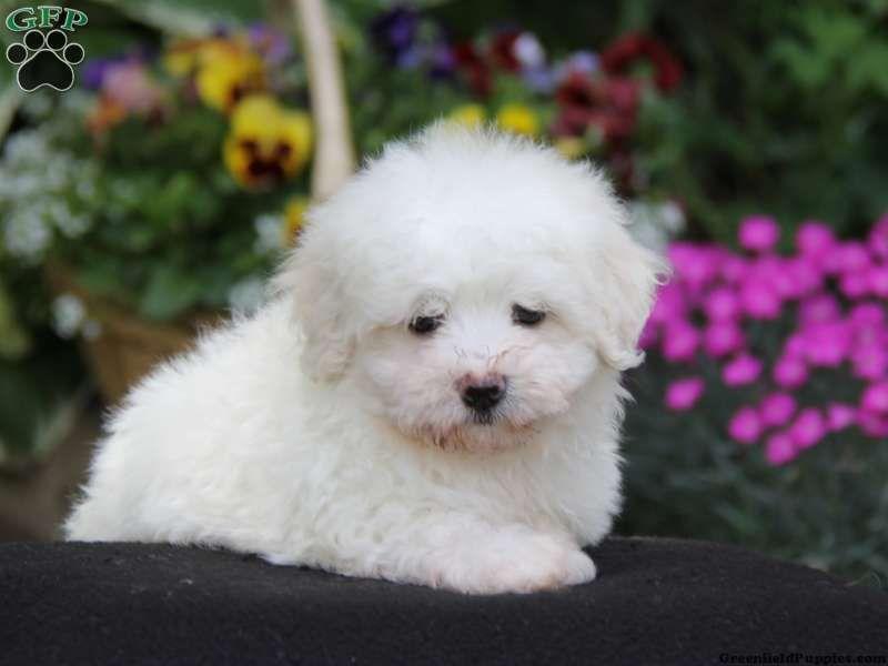 Cuddles Maltichon Puppy For Sale In Pennsylvania Adorable