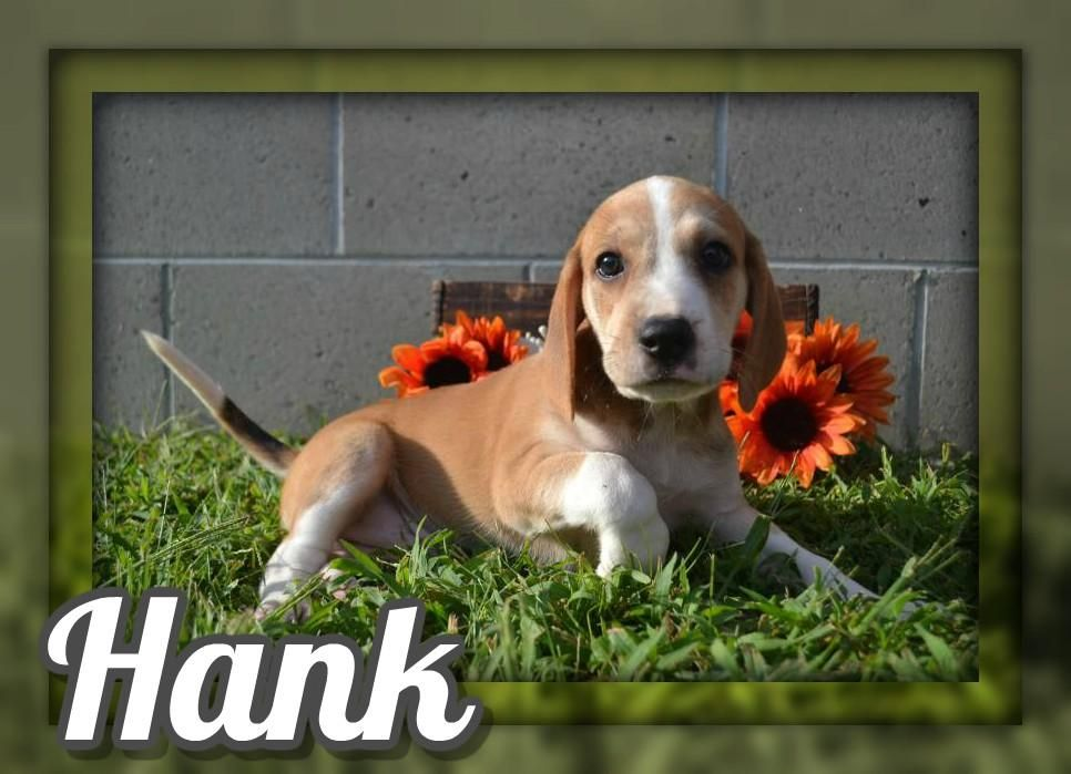 Hank Male Mountain Cur Mix 450 Golden Retriever Mix Puppies