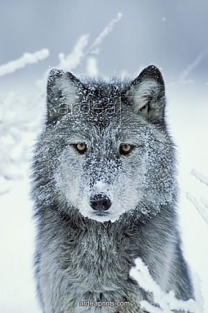 Google Image Result for http://www.ardeaprints.com/image/grey_wolf_in_snow_with_snowy_face_1307776.jpg