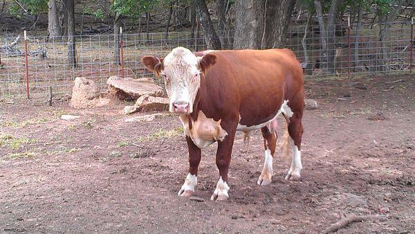 $1150. Lawton, OK. 405-214-8143 | Cattle, Animals, Lawton