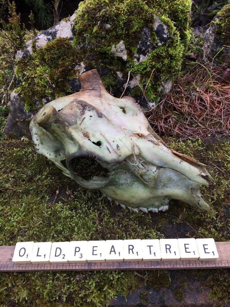 Fallow Deer Skull Genuine Real Animal Bones Anatomy Skeleton ...