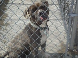 Tennessee Id 781 Is A 3yo Am Staff Dog In Need Of A Loving