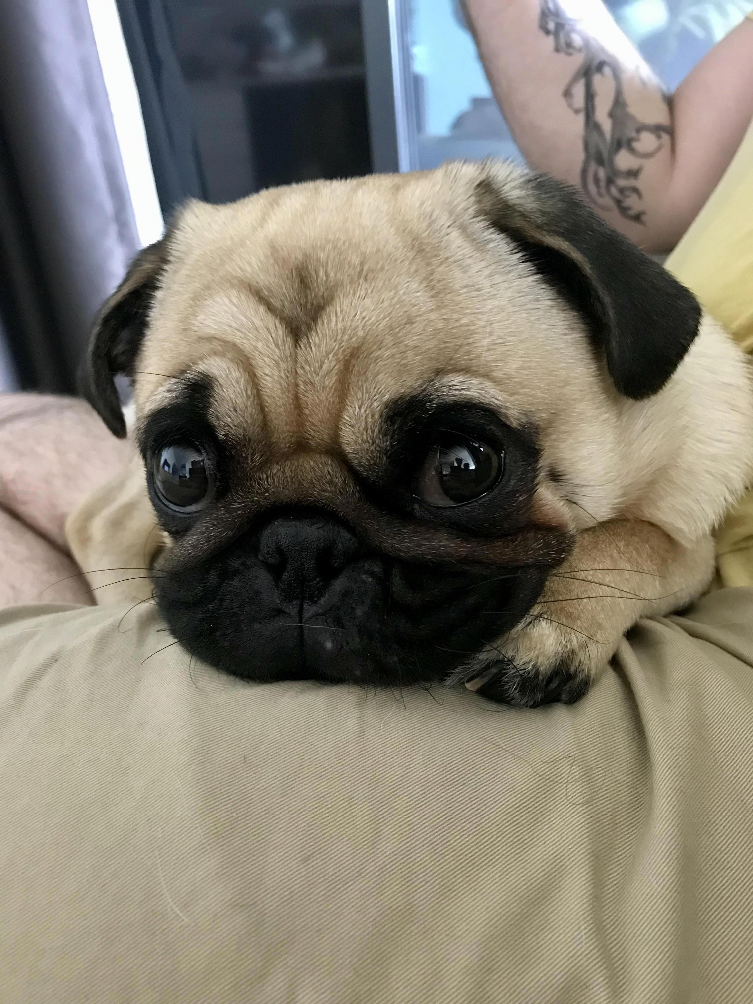 Precious Beautiful Baby Cartoon Dog Baby Pug Dog Baby Pugs