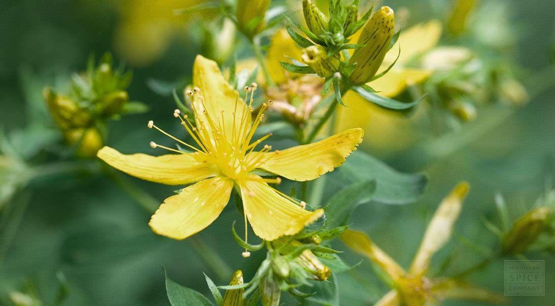 St. Johns wort St johns wort, Herbalism, Herbs