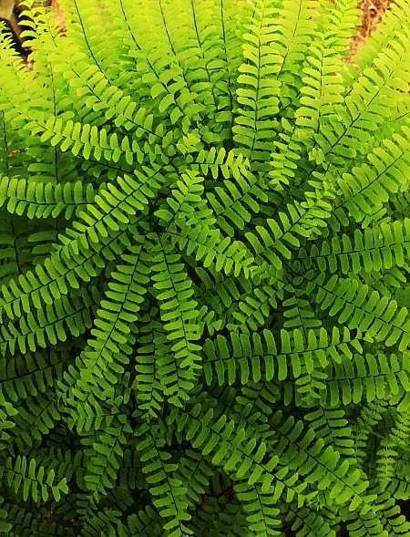 Maiden\'s Hair Ferns | Fern | Pinterest | Fern, Gardens and Plants