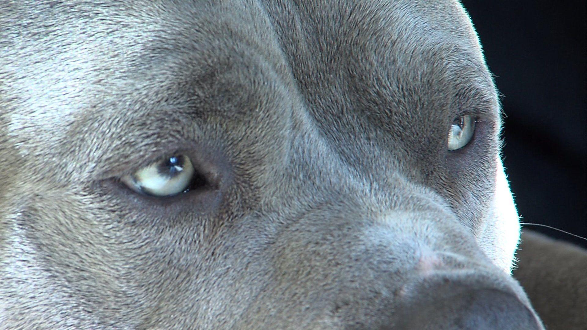 hd wallpapers pitbull dog wallpapers pitbulls pinterest dog 1600