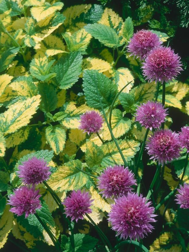 """Sweet Aroma of Lemon Balm  Melissa officinalis and alliums Lemon balm can set seed prodigiously and in time it springs up in every crack or crevice. The flowers are small and insignificant, which can make it difficult to know when to deadhead. An easier method is to cut the whole plant down to within 6 inches of ground level as soon as it is 20–24 inches tall. Alternatively, plant its cousin Melissa officinalis """"Aurea,"""" which is more compact and seems to be a bit better behaved."""