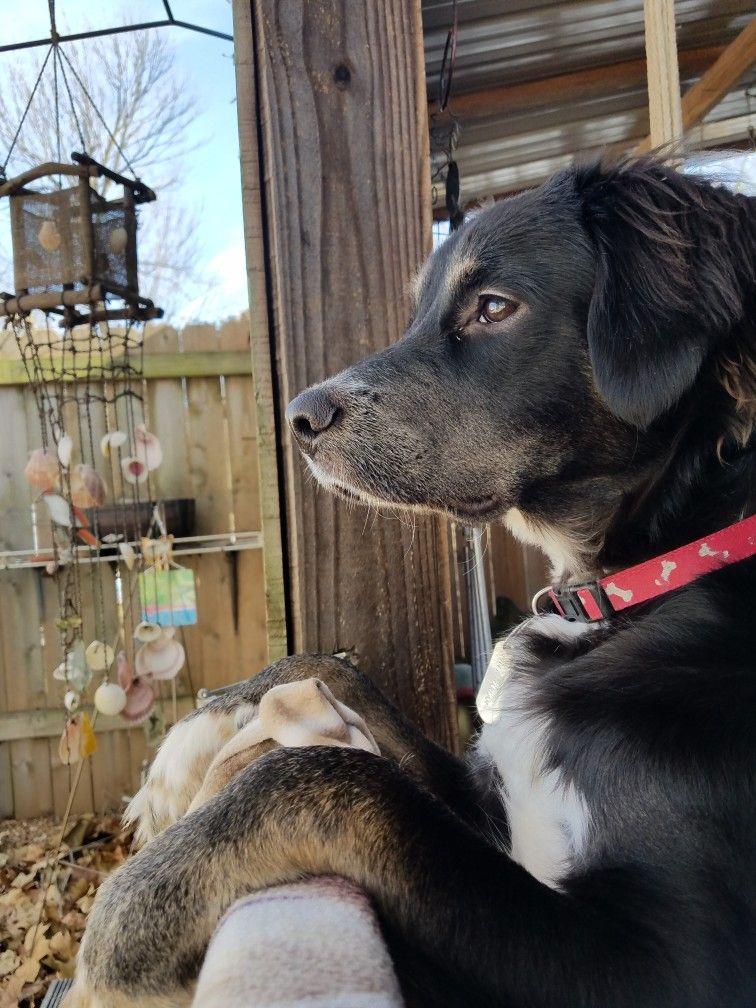 Australian shepherd black labrador mix Tuck the wonder dog