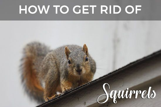 Squirrels In Your Attic Or Home Learn How To Get Rid Of Them Get Rid Of Squirrels Squirrel Dangerous Animals