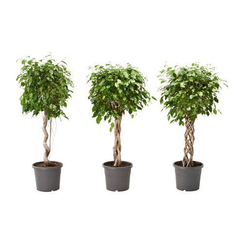 ficus benjamina plante en pot figuier pleureur diverses esp ces 32 cm ficus and interiors. Black Bedroom Furniture Sets. Home Design Ideas