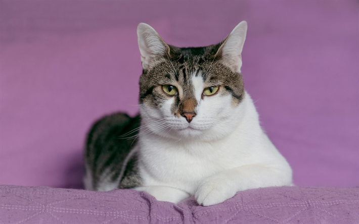 Download wallpapers white gray cat, pet, purple background