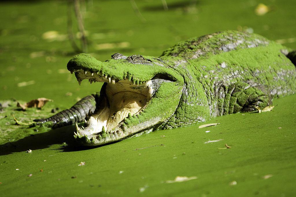 Hasil gambar untuk green crocodile