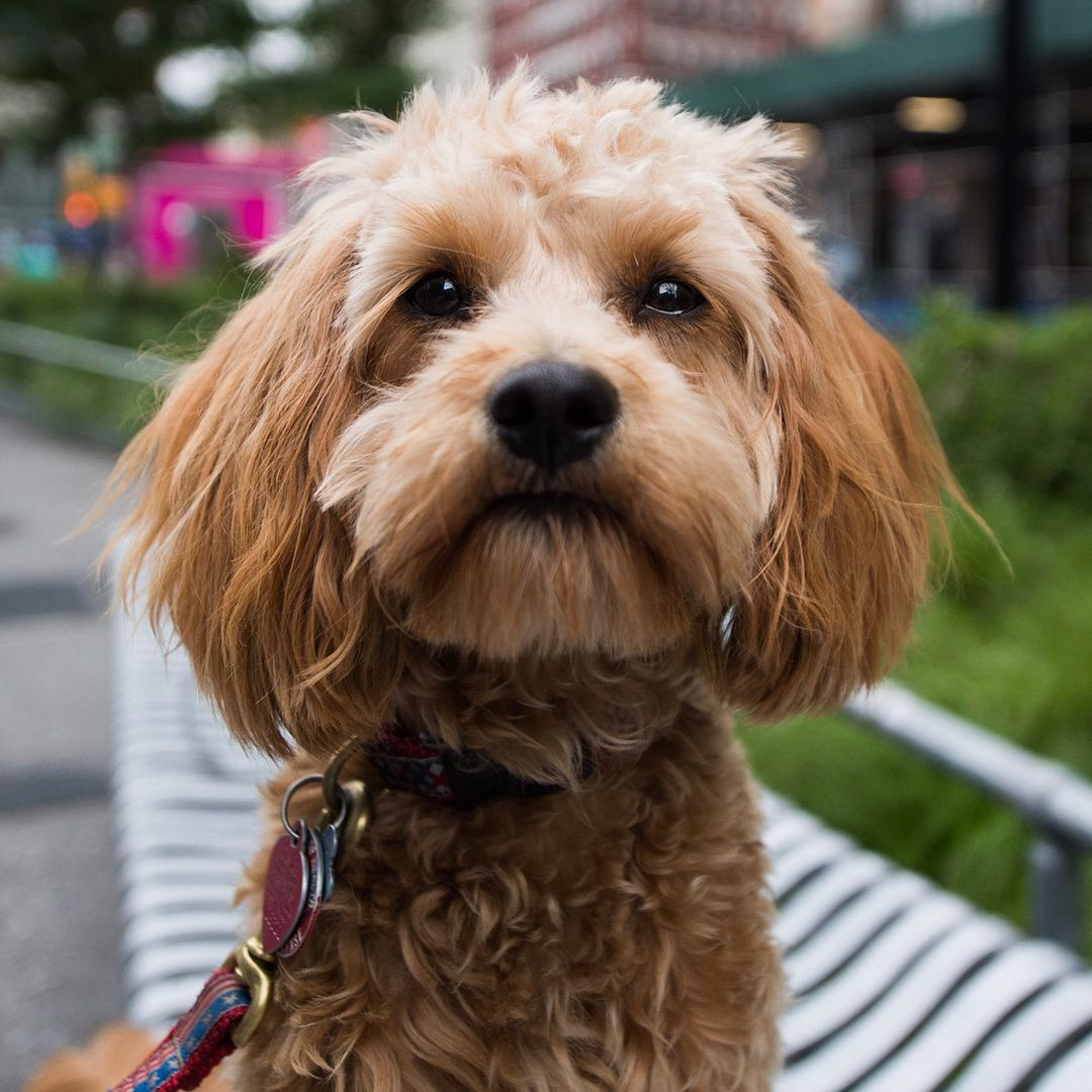 Pin by Elizabeth N. on Animales ️️️ Cavapoo, Dogs, Places