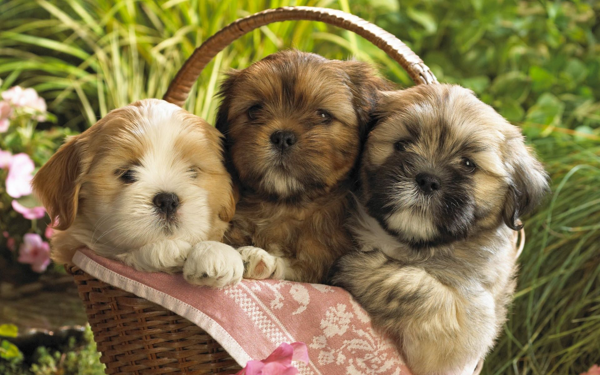 cute baby puppies cute puppies wallpaper desktop background download cute wallpaper