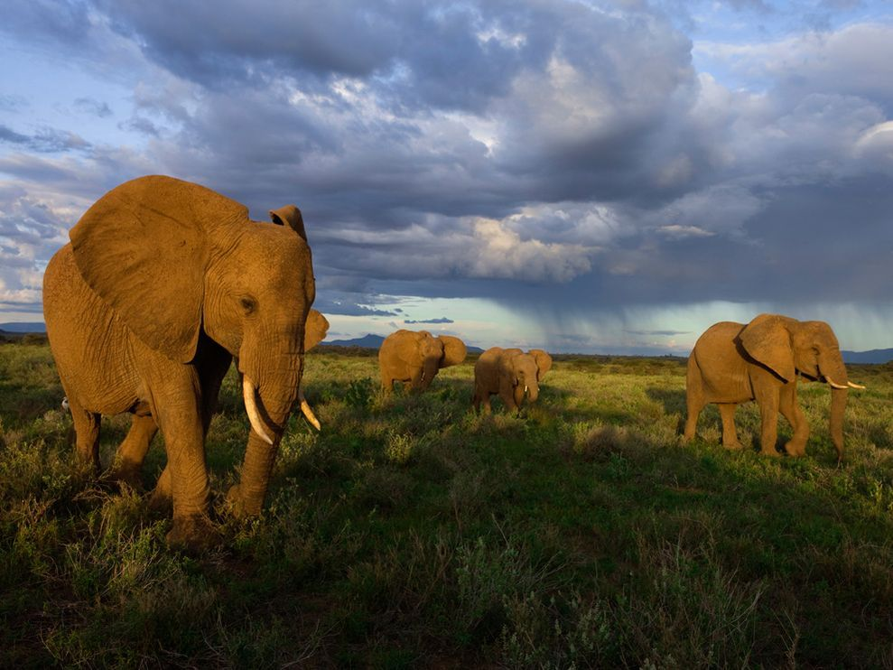 How do African elephants migrate?