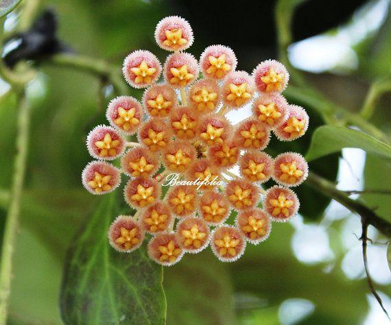 Hoya Obscura Nice Starter Plant In 35 Inch Pot Hoyas Plants