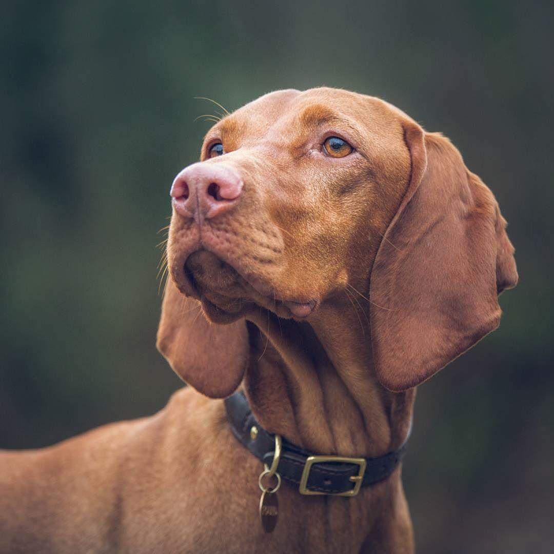 Hongaarse Hond