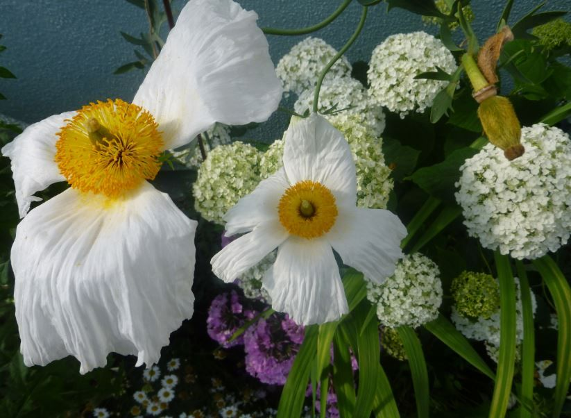 The bed at the Shopfront with Romneya Coulteri, hydrangea Annabelle, Phlox and Marguerite