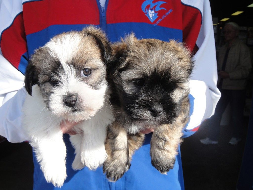 Lhasa Apso X Maltese Boys Lhasa Apso Puppies Pets