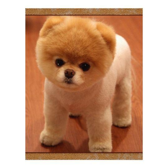 Pomeranian Dog Pet Puppy Small Adorable baby