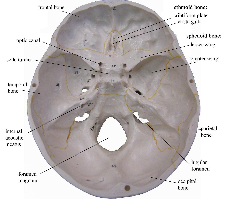 Skull Interior Ap2innescle Pinterest Anatomy Skull