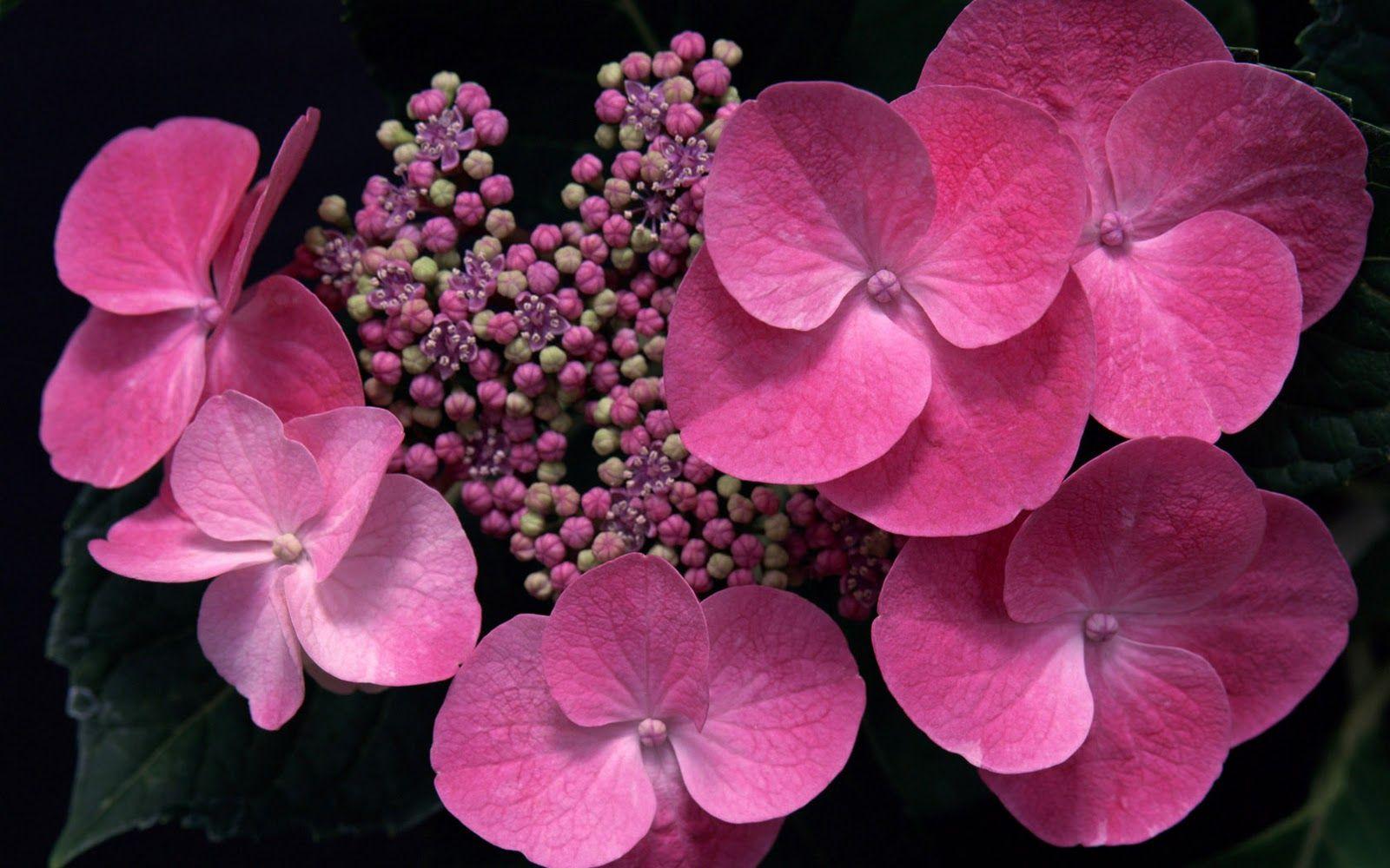 Pink Blossoming Hydrangea Hd Flower Wallpaper Flower Wallpaper Pink Flowers