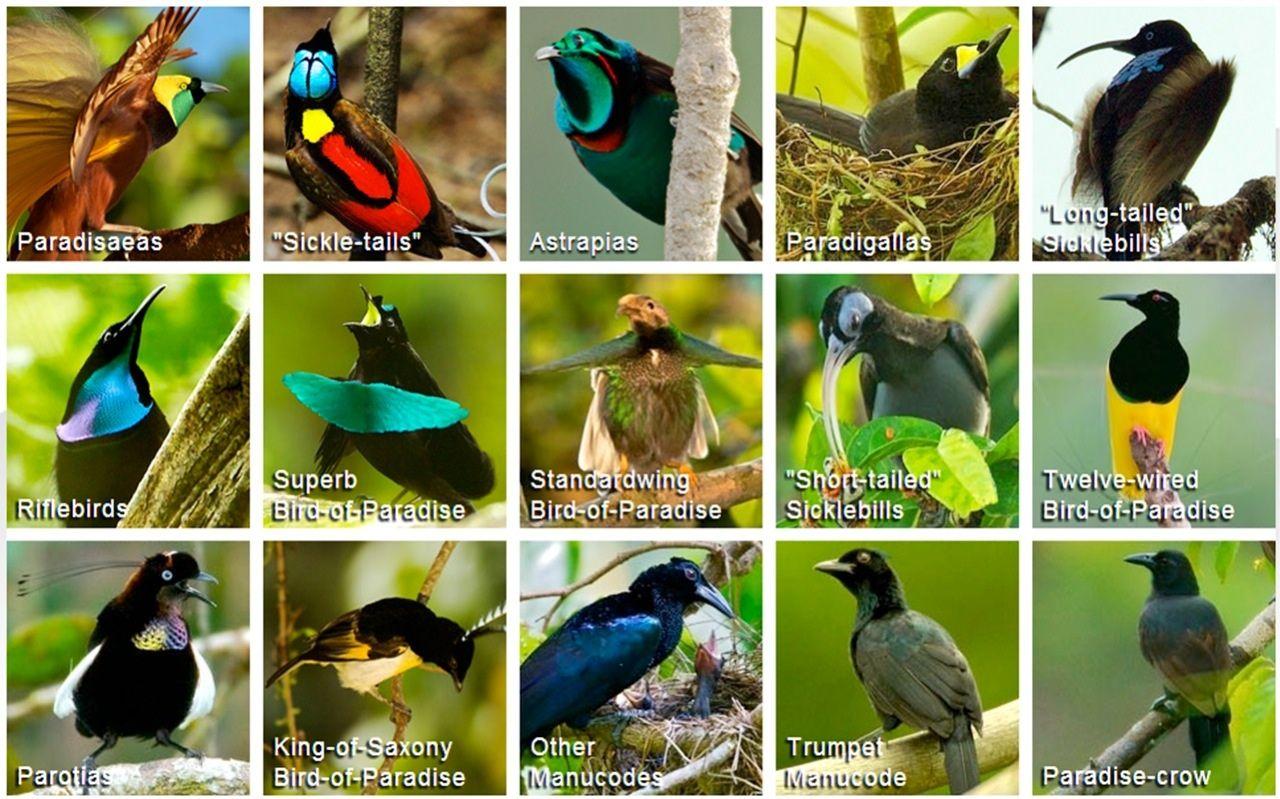 Birds Of Paradise Birds Of Paradise Cornell Birds Birds