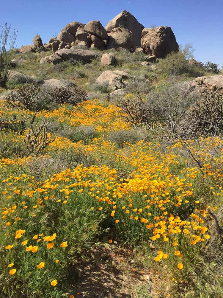 Desert wildflower reports for phoenix and northern arizona