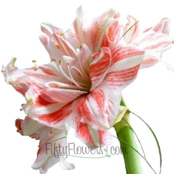 Candy Cane Amaryllis Red And White Flower Amaryllis Flowers Flowers Amaryllis