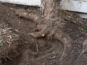 Invasive Tree Root List Trees That Have Invasive Root Systems Tree Roots Silver Maple Tree Root System