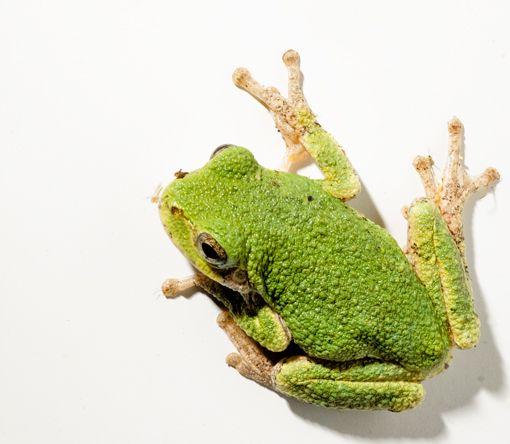 Michigan Tree Frogs | Frogs | Gray tree frog, Tree frogs, Garden frogs