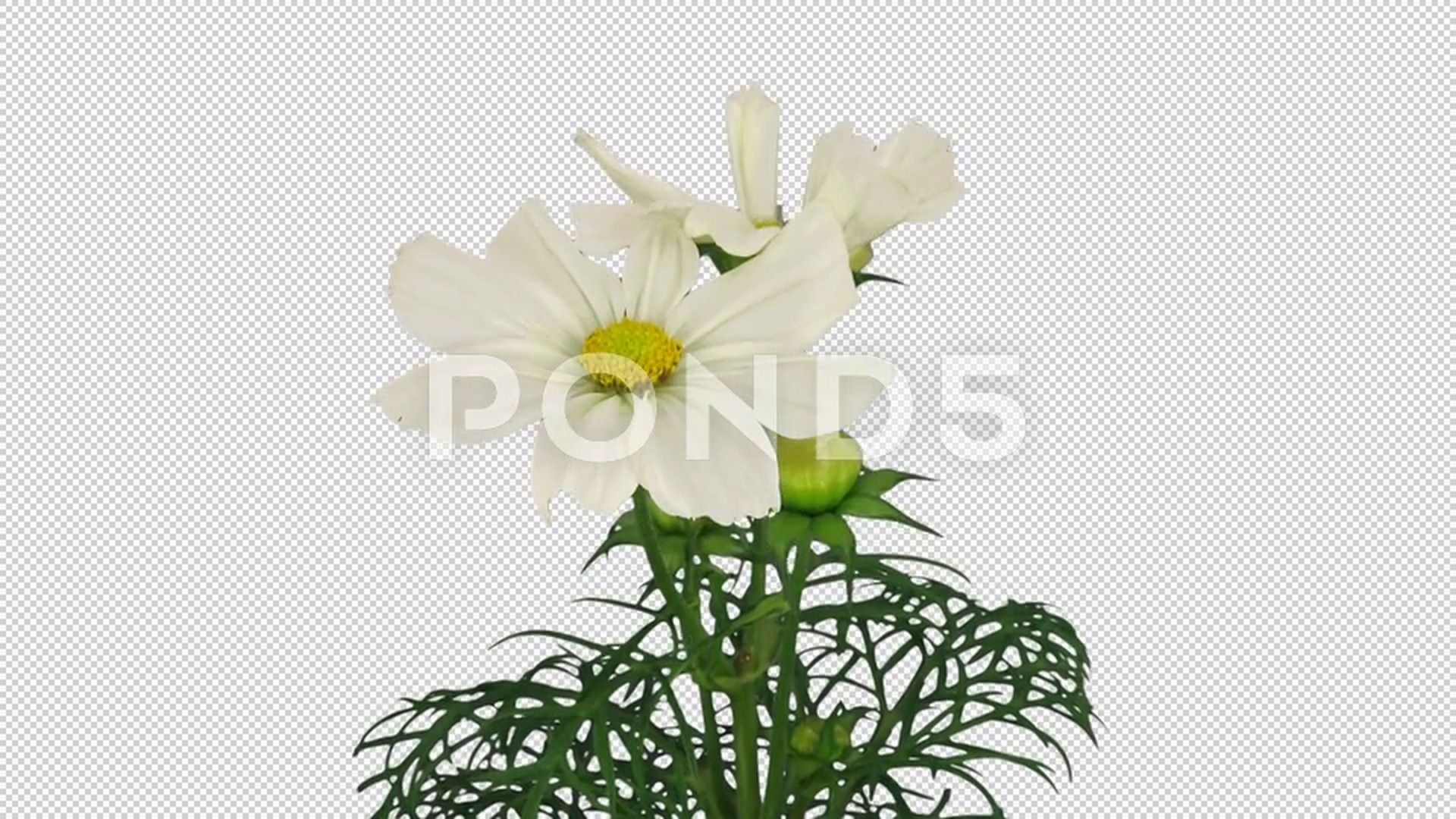 Time Lapse Of Growing Blooming Cosmos Flower With Alpha Channel Stock Footage Blooming Cosmos Growing Time Alpha Channel Bloom Cosmos