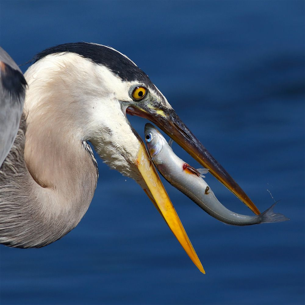 Great Blue Heron Working On Its Catch, Bolsa Chica (CA) Photographer Salah  Baazizi Has An Amazing Knack For Photographing Birds Up Close And Personal  As ...