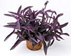 Wandering Jew Plant – How To Easily Grow It Indoors #wanderingjewplant