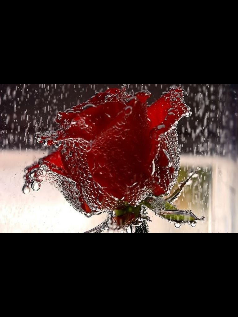 Crystal drops on red rose
