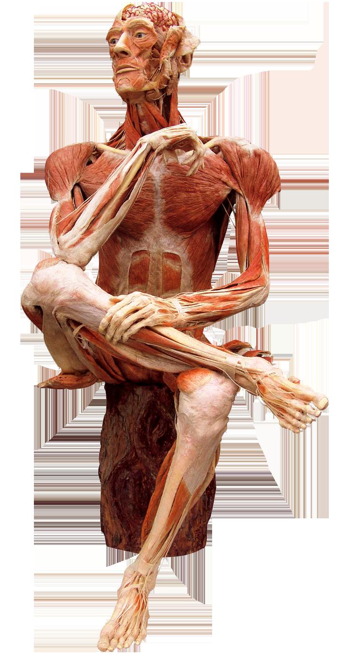 Der Blick unter die Haut   MeMu Berlin   Anatomical II   Pinterest ...