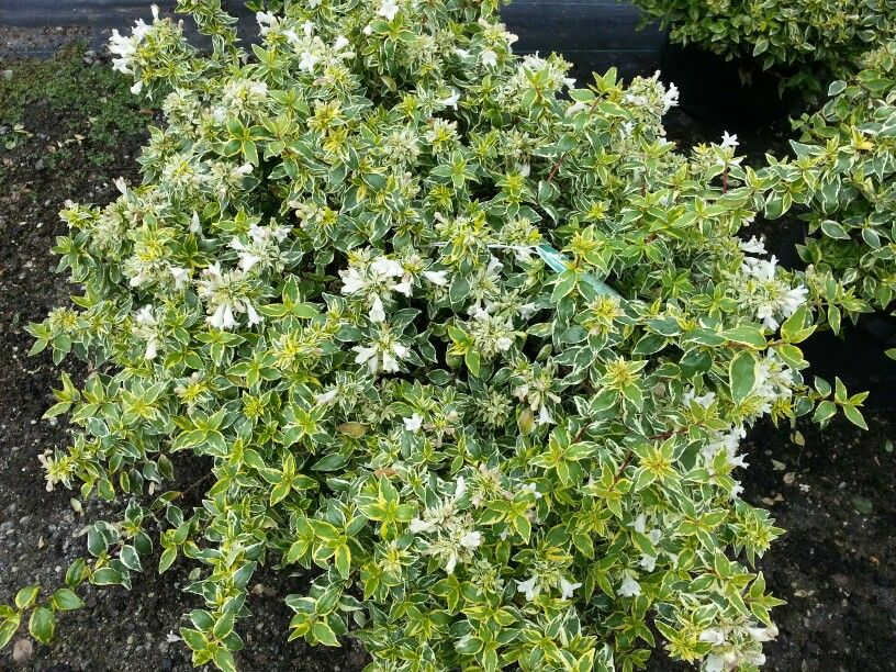 Radiance Abelia Landscaping Plants Outdoor Landscaping Small Yard