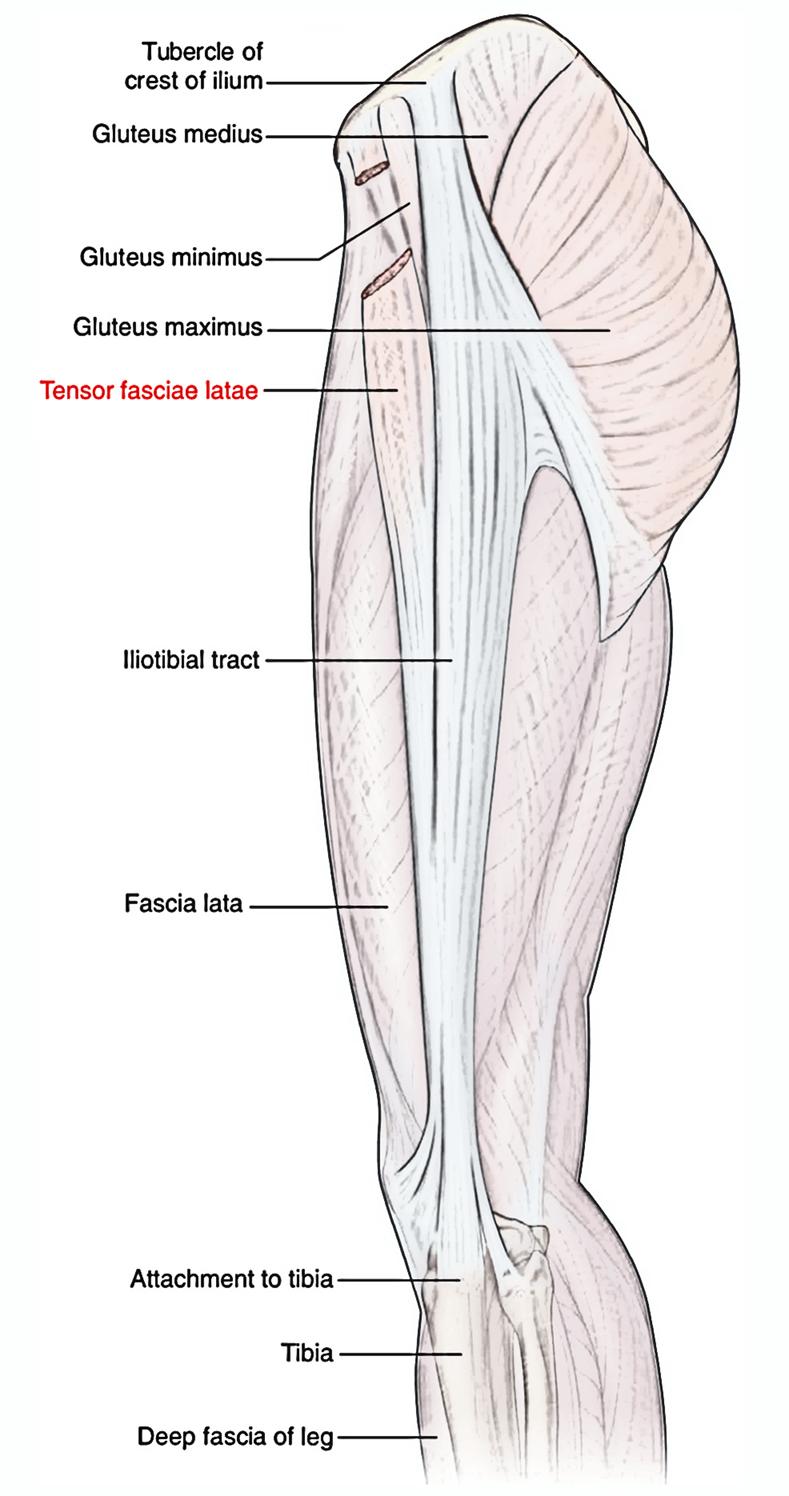 Großartig Anatomie Der Tibia Fotos - Physiologie Von Menschlichen ...