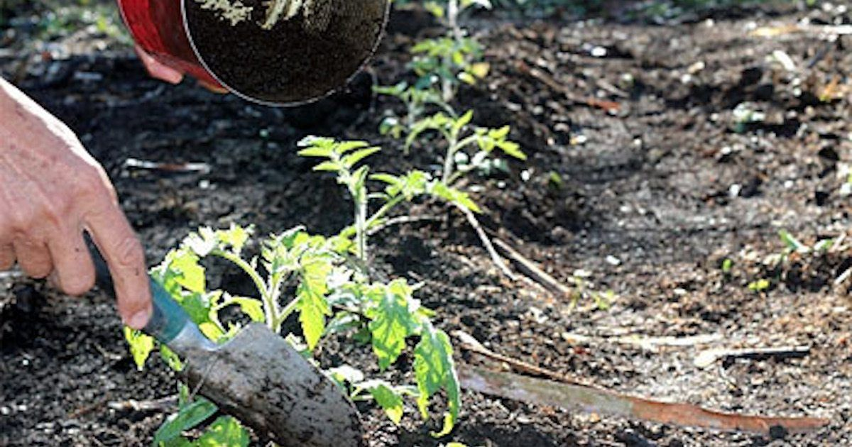 Stop Tossing Old Coffee Grounds Here Are 8 Ways They Can Take Your Garden To The Next Level Tomato Garden Tomato Plants Tomato Seedlings