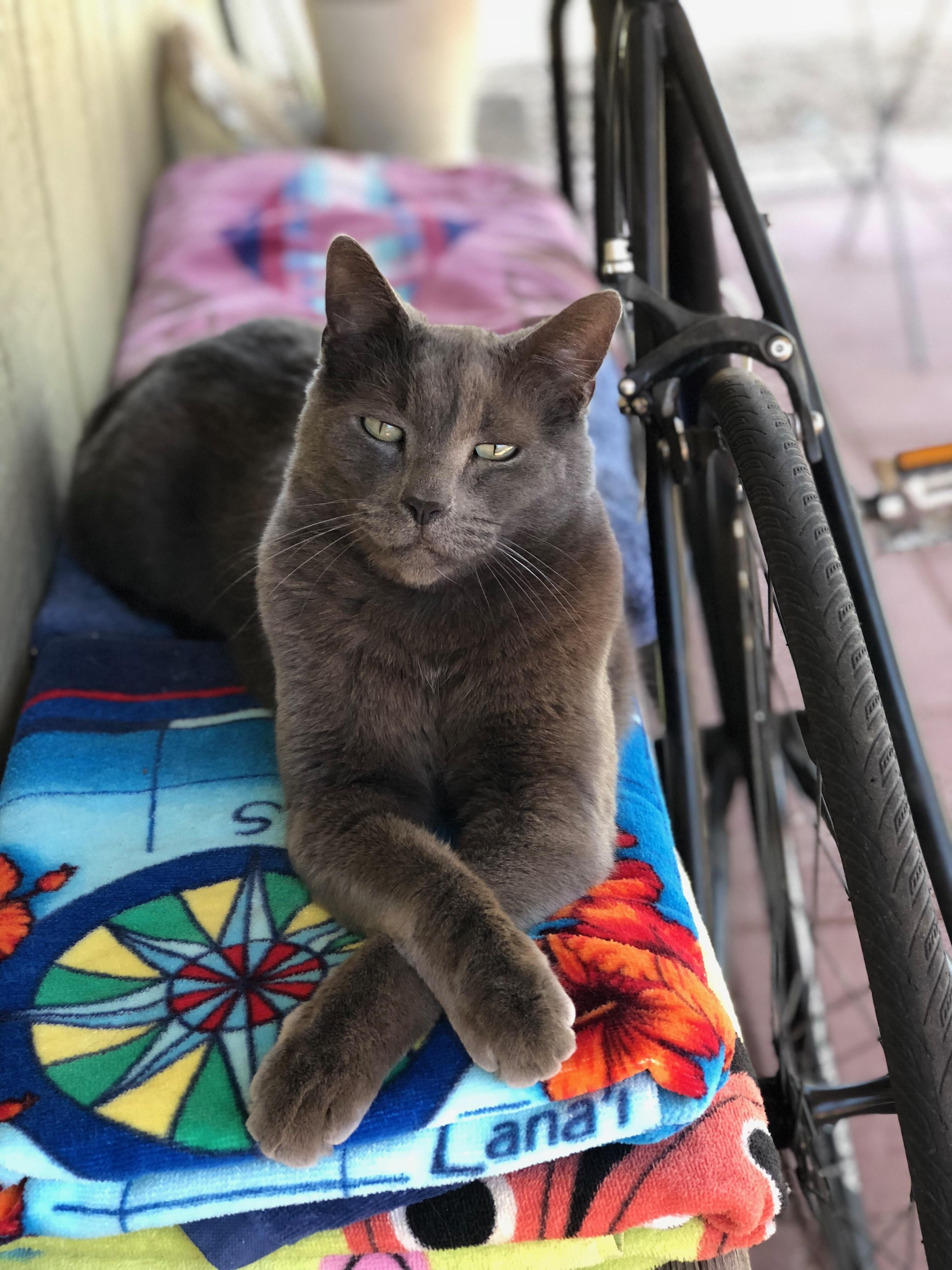 Russian Blue Steel Russian Blue Cats Different Breeds Of Cats