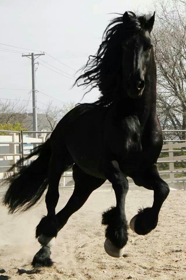 Black Friesian Gelding Running in Field, Longmont ...  |Friesian Horses Running