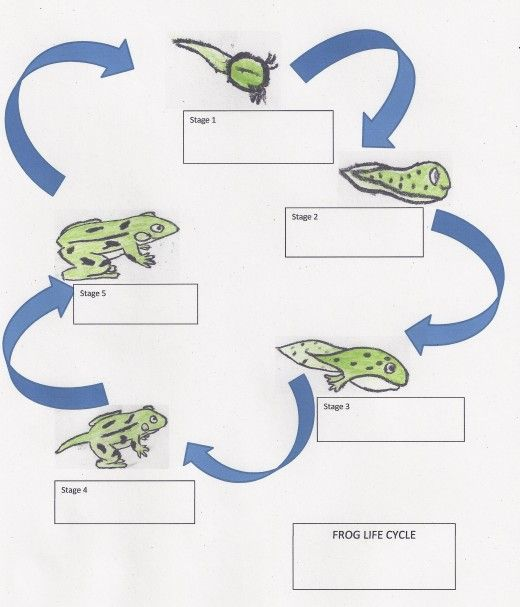 life cycle of a frog lesson plan for elementary students i 39 m soooooo doing this at school. Black Bedroom Furniture Sets. Home Design Ideas