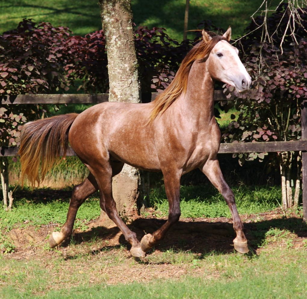 Talented Brazilian Lusitano From Vale Do Arete Horses Horses For Sale Lusitano