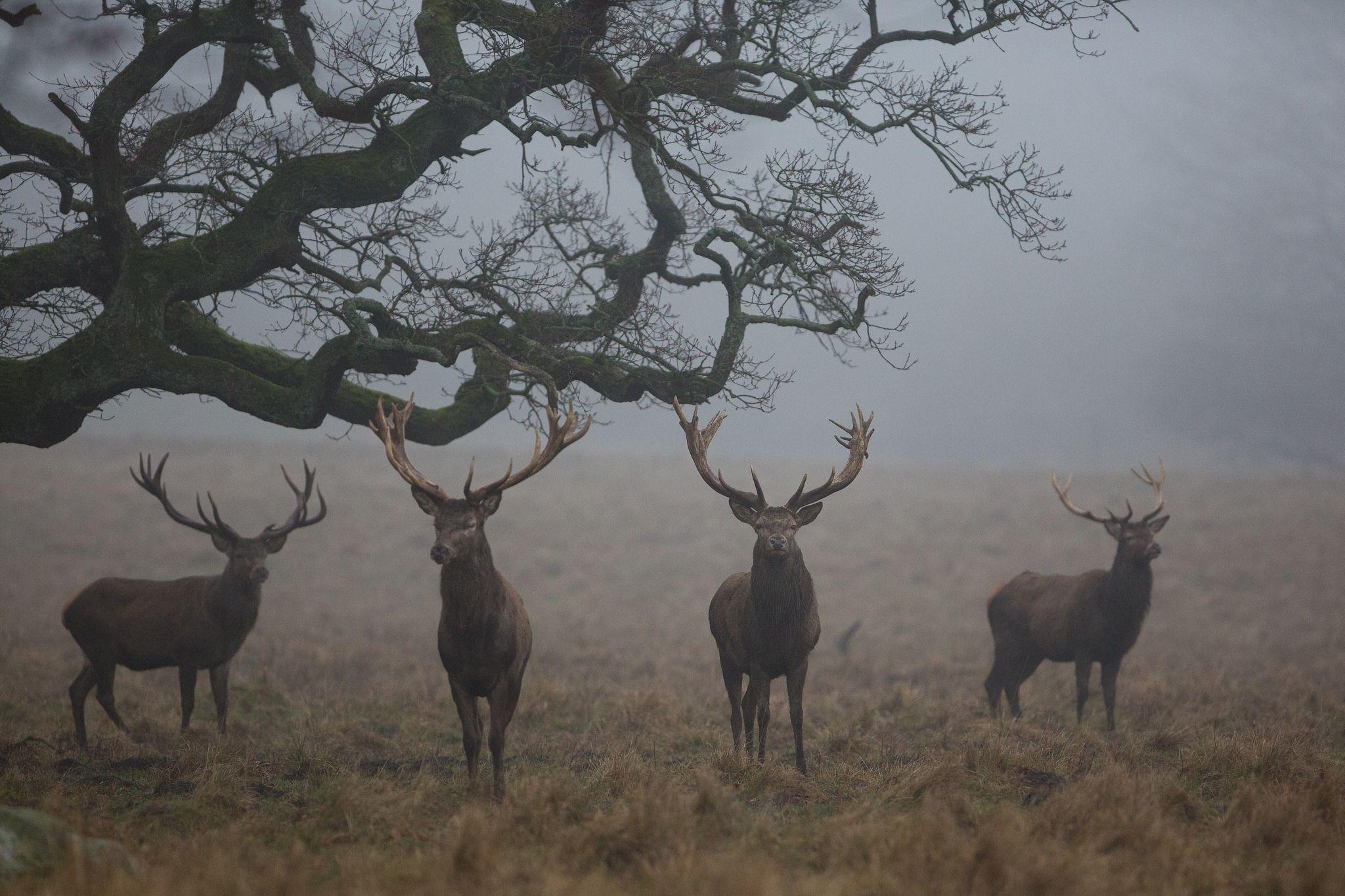 Red Deer Nature Dark Aesthetic Animals Dawn forest deer trees fog nature