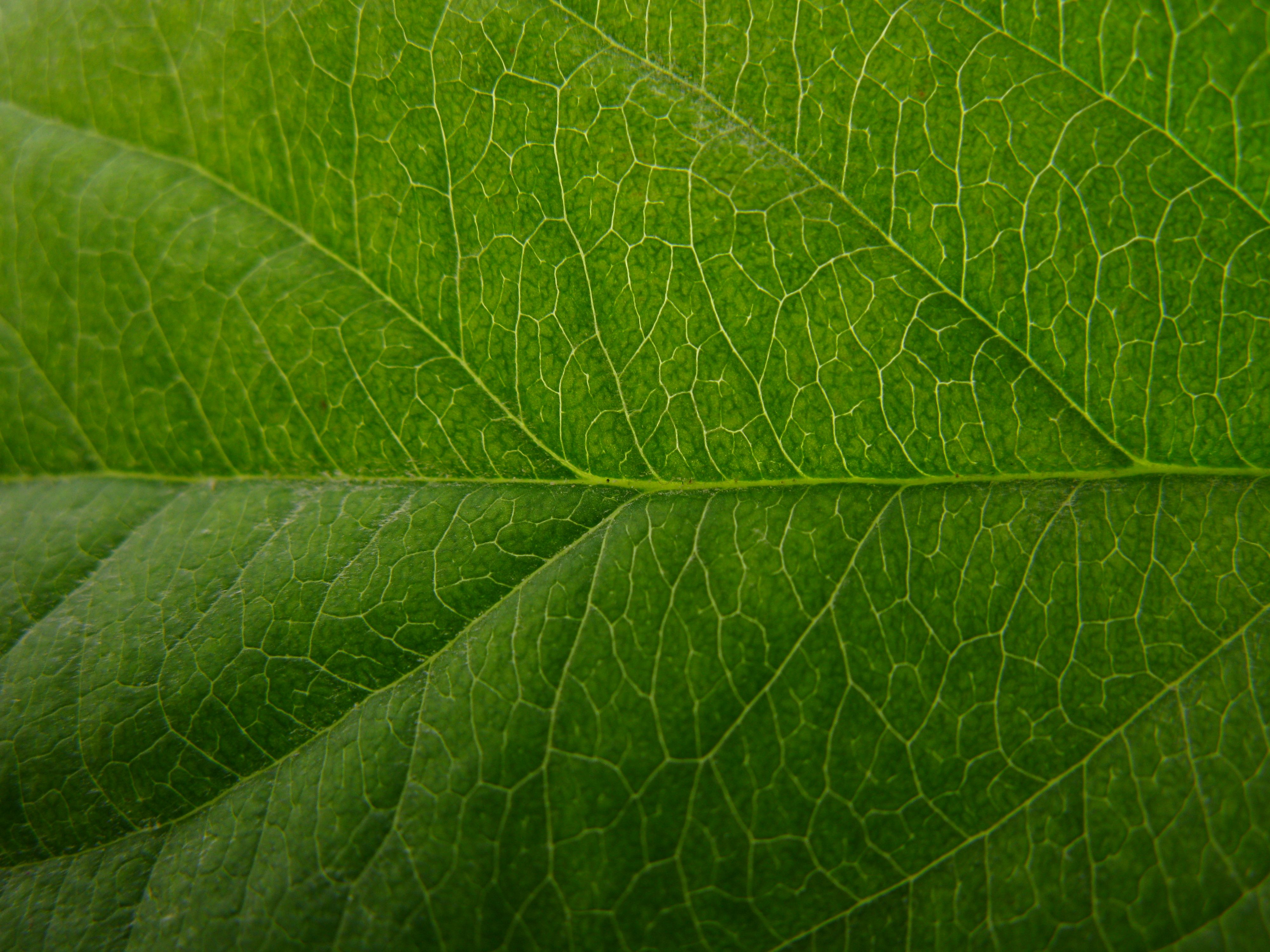 Apple Leaf Texture   Leaf texture, Plants, Texture