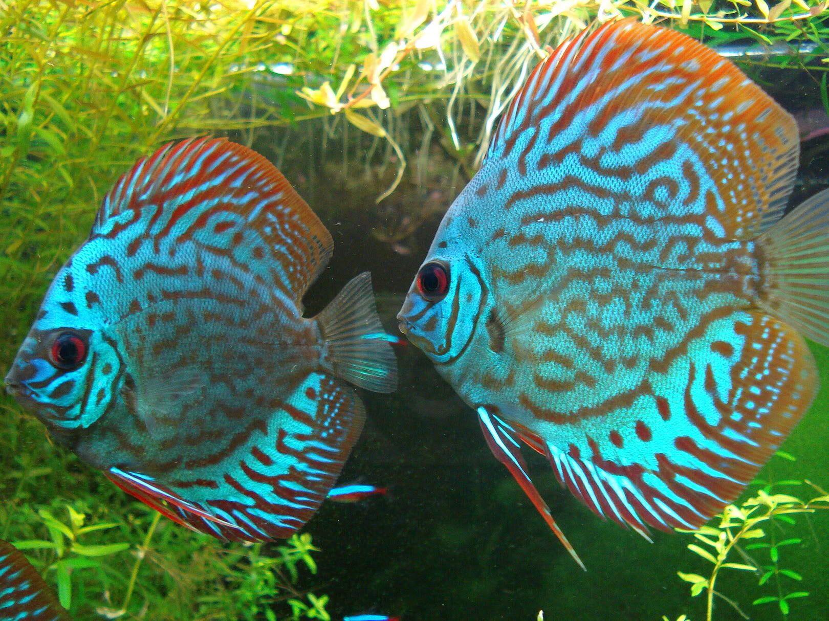 Imagen De Httpi250Photobucketcomalbumsgg266 Discus Aquariumdiscus Fishplanted