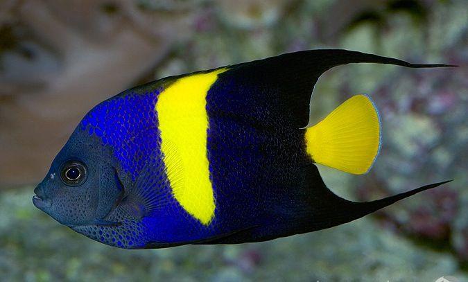 Arabian Or Asfur Angelfish Lijkt Zeer Hard Op De Halfmoon Angelfish Maar Is Herkenbaar Aan De Gele Staart Sea Fish Saltwater Fish Tanks Marine Fish