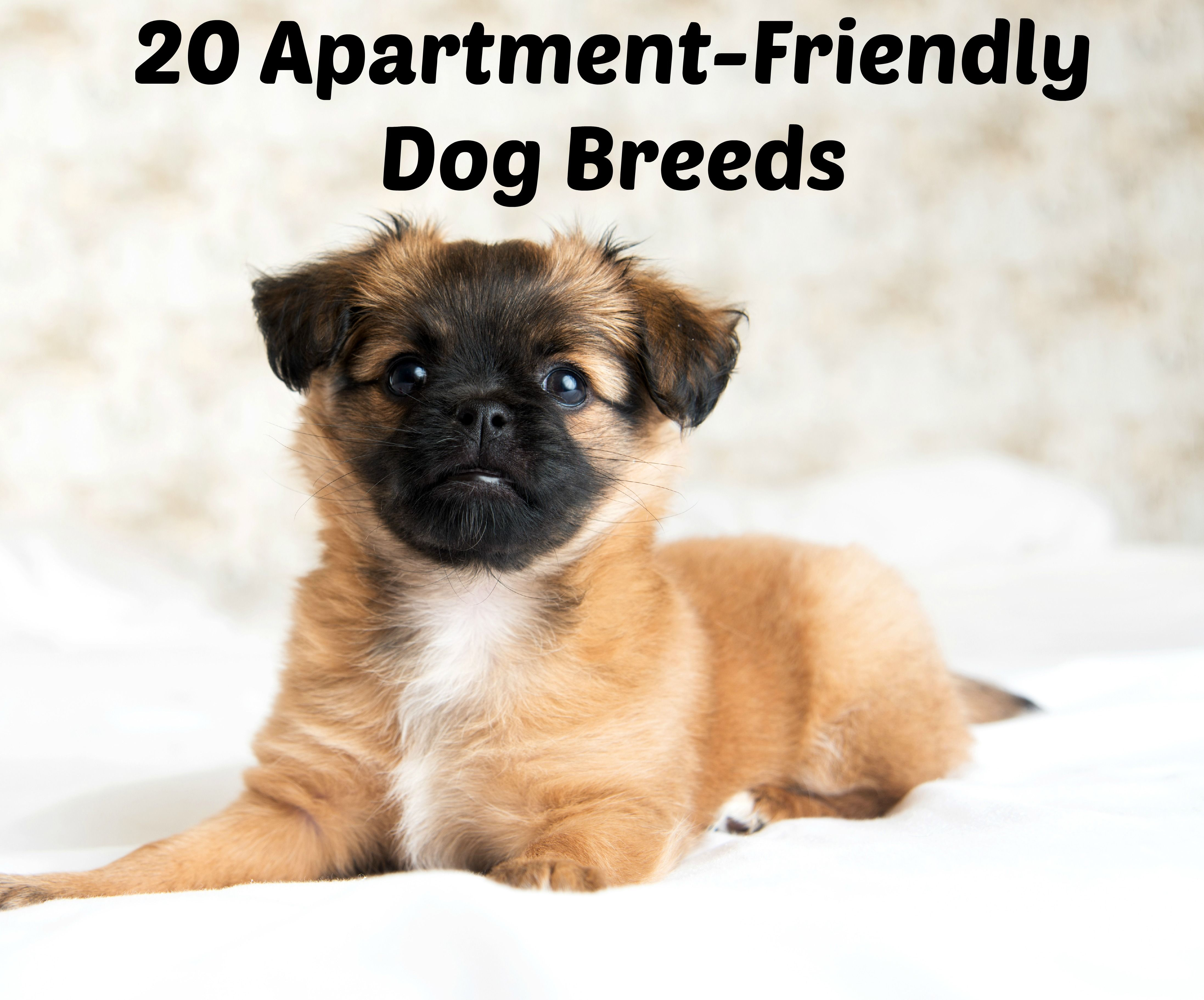 condo-loving canines: 20 of the best dog breeds for apartments