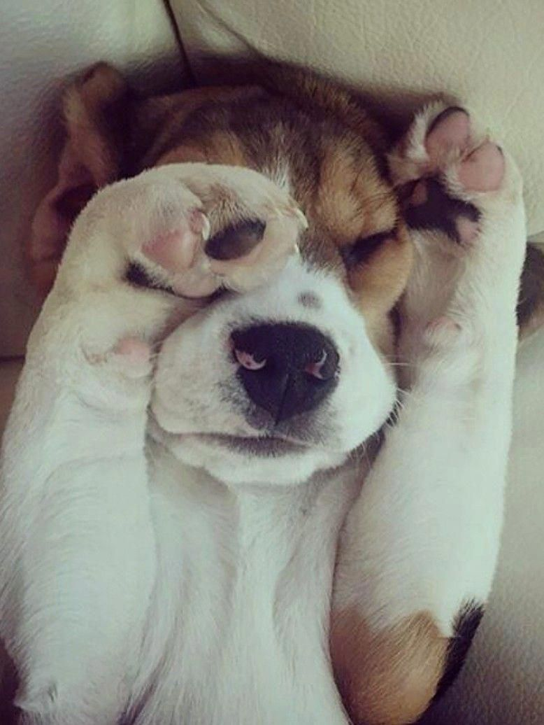 Acquire Wonderful Recommendations On Beagles They Are Actually Offered For You On Our Website Beagle Puppy Cute Beagles Puppies